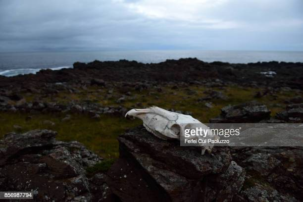 A Cow Skul on the rock at Dalatangi, east fjord of Iceland