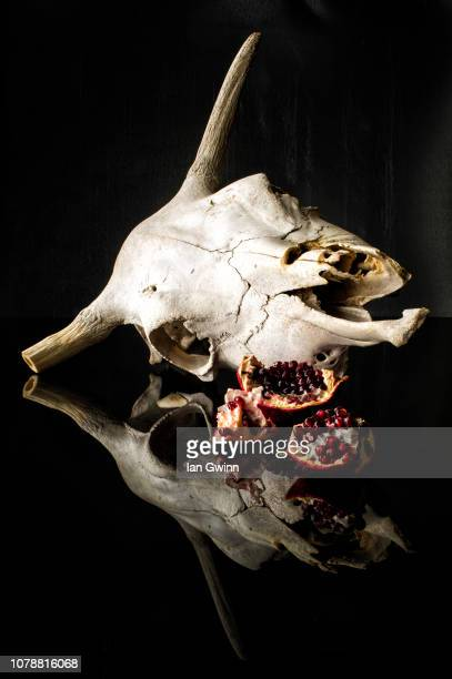 cow skull and pomegranates - ian gwinn stock photos and pictures