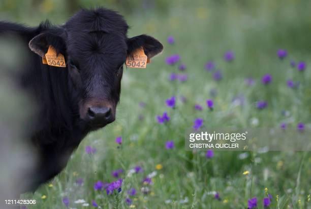 Cow Spanish breeder Juan Pedro Domecq's grazes at the 'Lo Alvaro' farm at the Castillo de las Guardas near Sevilla, on April 28, 2020. - For Spain's...