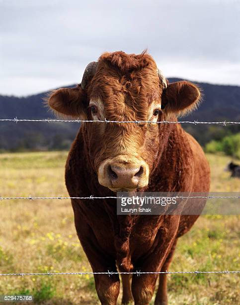 Cow standing at fence