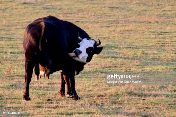 cow standing in a field - van dijk stock pictures, royalty-free photos & images
