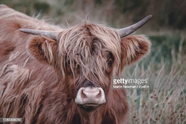 cow standing in a field - エセックス州 ストックフォトと画像