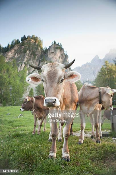 cow standing in alpine setting. - herbivorous stock pictures, royalty-free photos & images