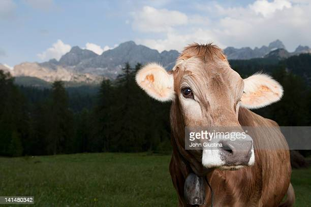 Cow Standing in Alpine Setting.