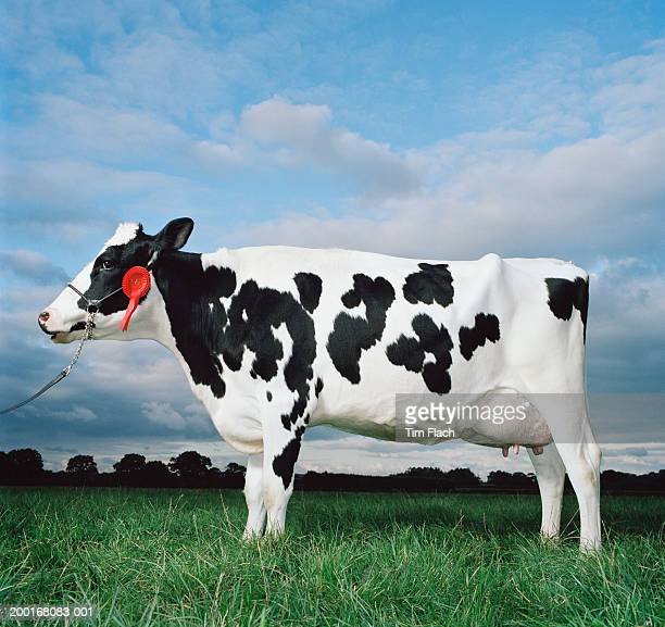 Cow standing in field, first place rosette on halter, side view
