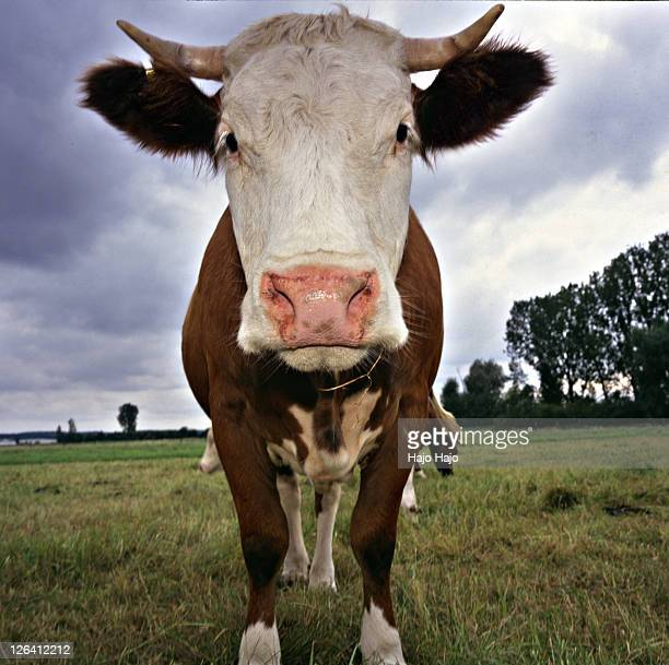 cow standing in field - cow eyes stock pictures, royalty-free photos & images