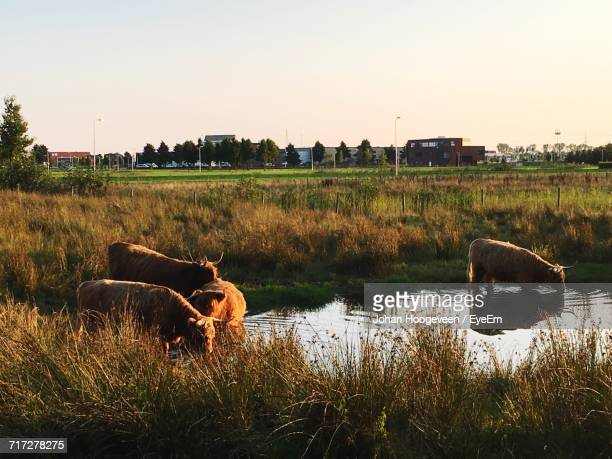 cow standing in field - hoogeveen stock pictures, royalty-free photos & images