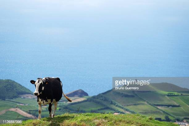 cow standing in green farm field against sea - las azores fotografías e imágenes de stock