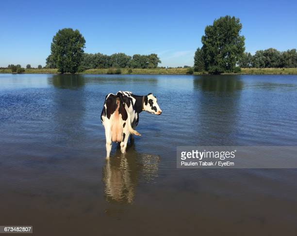 cow standing in lake against sky - paulien tabak 個照片及圖片檔