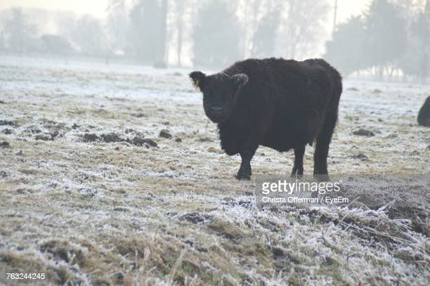 Cow Standing On Field During Winter