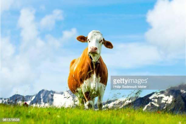 cow standing on grass, gerlos, zillertal arena, tyrol, austria - einzelnes tier stock-fotos und bilder