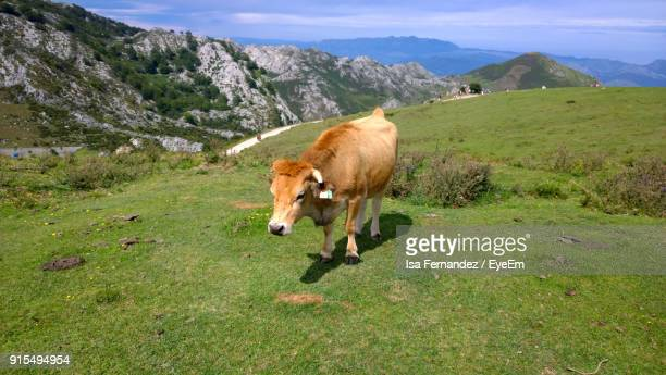 Cow Standing On Grassy Field Against Mountains