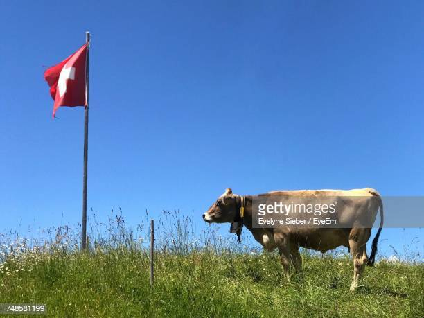 Cow Standing On Grassy Field By Swiss Flag Against Clear Sky