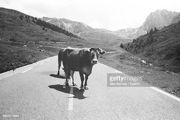 Cow Standing On Road With Mountain In Background