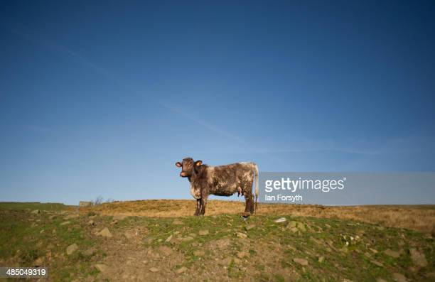 A cow stands as it waits for feed at Ravenseat the farm of the Yorkshire Shepherdess Amanda Owen on April 15 2014 near Kirkby Stephen England Amanda...