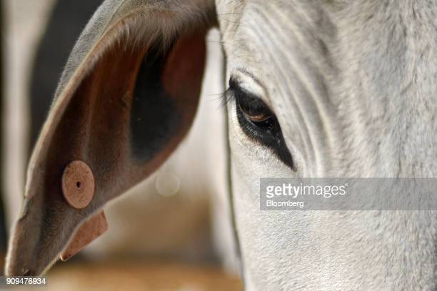 A cow stands at the Sri Krishna Gaushala on the outskirts of New Delhi India on Sunday Jan 21 2018 The nursing home offers free food and lodging a...