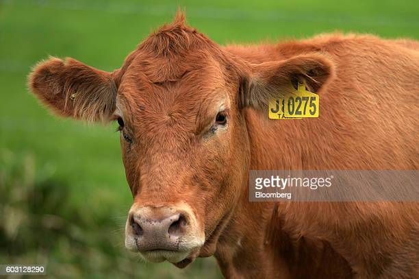 A cow stands in a pasture at a farm in Mengatas West Sumatra Indonesia on Thursday July 14 2016 Indonesia plans to produce 460000 tons of meat in...