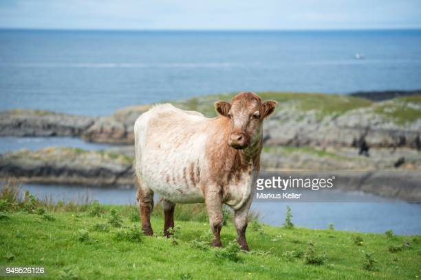 cow (bos primigenius taurus) stands in a pasture on the atlantic coast, isle of islay, inner hebrides, scotland, united kingdom - bos stock pictures, royalty-free photos & images