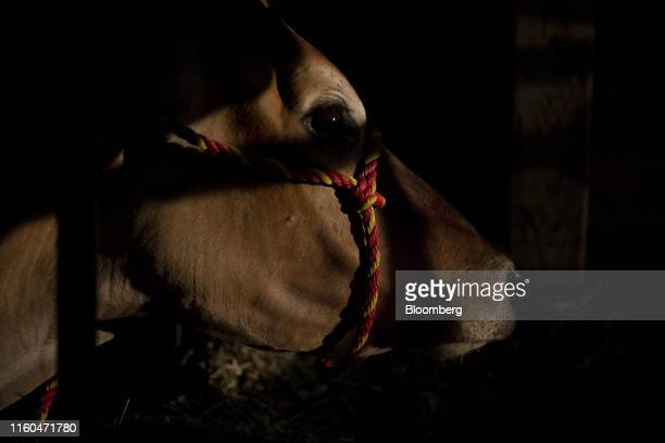 A cow stands in a stall in the Agriculture Building during the Iowa State Fair in Des Moines Iowa US on Thursday Aug 8 2019 The 2020 Democratic field...
