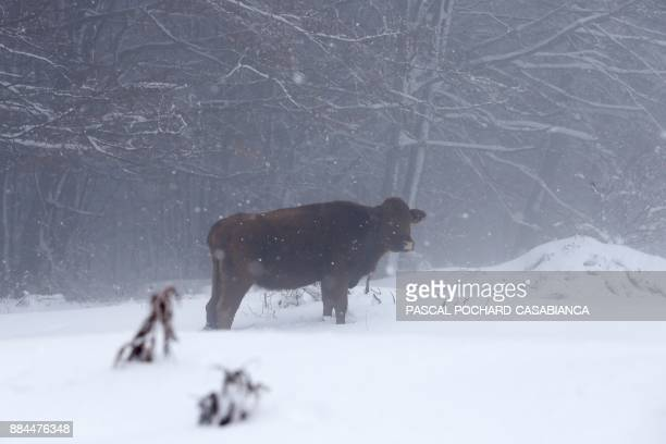 A cow stands in snow near Vivario on the French Mediterranean Island of Corsica on December 2 2017 / AFP PHOTO / PASCAL POCHARDCASABIANCA
