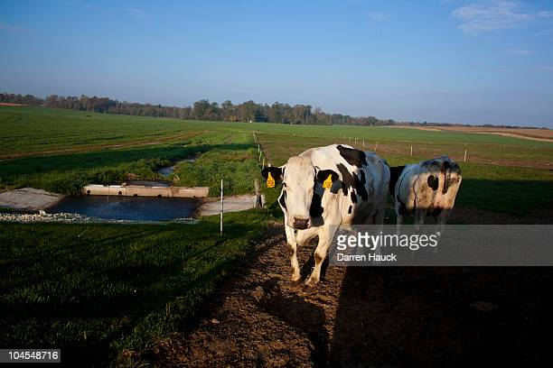 A cow stands in the early morning light at the RobNCin farm on September 29 2010 in West Bend Wisconsin The farm has roughly 400 head of cattle and...