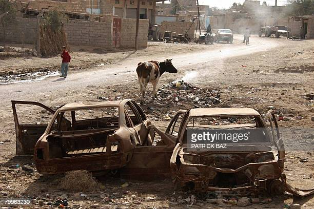 A cow stands next to wrecked cars and burnt out garbage in the town of Baquba 20 kms northeast of Baghdad on February 24 2008 The United States...