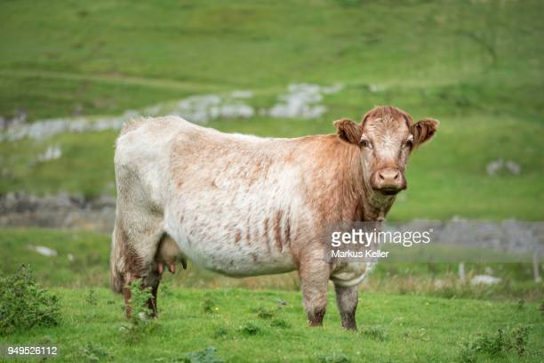 cow (bos primigenius taurus) stands on a meadow, isle of islay, inner hebrides, scotland, united kingdom - bos stock pictures, royalty-free photos & images