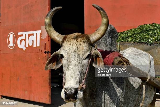 A cow stands waiting to haul a cart of fodder at the Sri Krishna Gaushala on the outskirts of New Delhi India on Sunday Jan 21 2018 The nursing home...