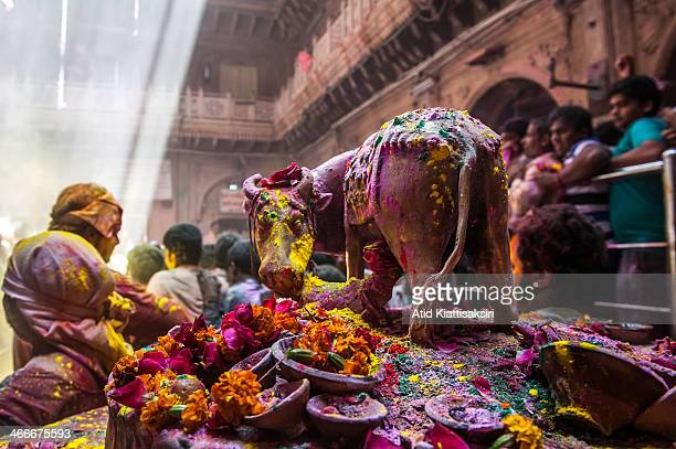 A cow statue was covered by colored powder during the Holi festival in the Banke Bihari temple Known as the festival of colours Holi is an ancient...