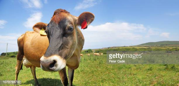cow stood in green field on sunny day - isola di guernsey foto e immagini stock
