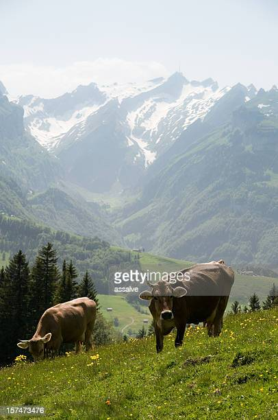 cow swiss cattle in alpine surrounding