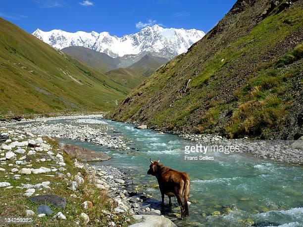 cow taking bath in upper svaneti valley, georgia - frans sellies stockfoto's en -beelden