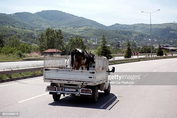 Cow transport at highway near Giresun of Turkey