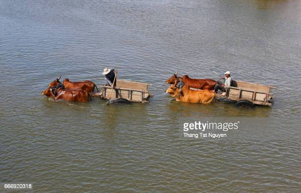 Cow trolley across the river in Ninh Thuan province