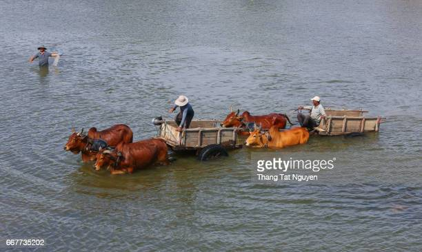 Cow trolley in river in Ninh Thuan, Vietnam