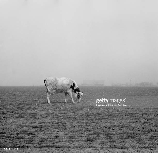 Cow Trying to Graze on Windswept Pasture of Farm, Ford County, Kansas, USA, Arthur Rothstein, Farm Security Administration, March 1936.