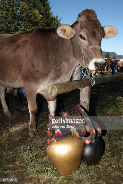 A cow waits beside its cowbell after the ceremonial cattle drive on September 13 2007 in Oberstdorf Germany Accompanied by some celebrations the...