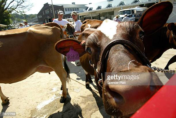 A cow waits to be shown in a 4H cow competition on the first day of the 2003 Iowa State Fair August 7 2003 in Des Moines Iowa Thousands of people...