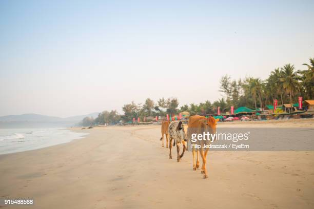 cow walking at beach against clear sky - goa stock photos and pictures