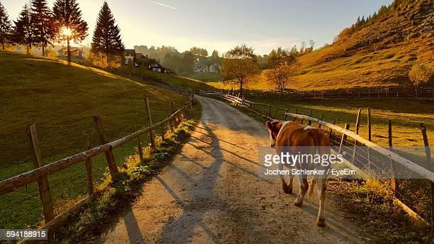 Cow Walking On Footpath Amidst Grassy Field Against Sky During Sunset