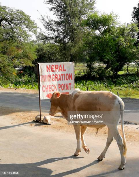 Cow Walking On Road By Sign