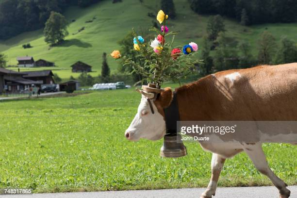 Cow walking on road wearing flowers and bell