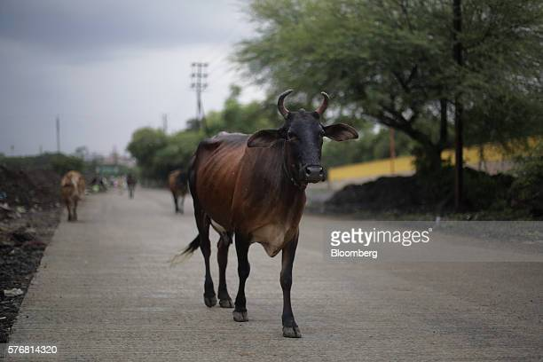 A cow walks along a road in Indore Madhya Pradesh India on Monday June 27 2016 Urine from India's indigenous Bos indicus cows which are considered...