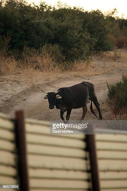 Cow walks on the Mexico side of the US-Mexico border fence as agents carry out special operations following the first fatal shooting of a US Border...