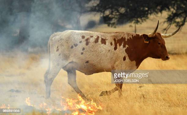 A cow walks through a burning pasture in Guinda California on July 01 2018 Californian authorities have issued red flag weather warnings and...