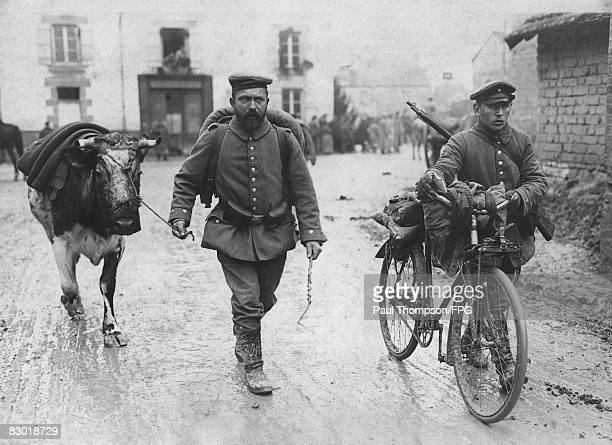 A cow wanders behind the German lines near Reims during World War I circa 1914