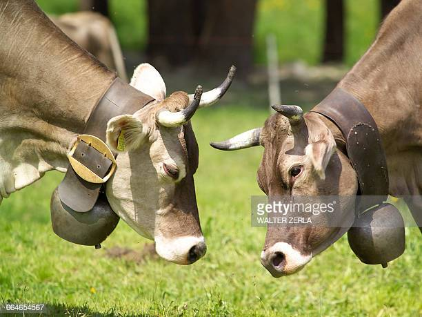 Cow wearing cow bell face to face grazing, Swiss Alps, Switzerland