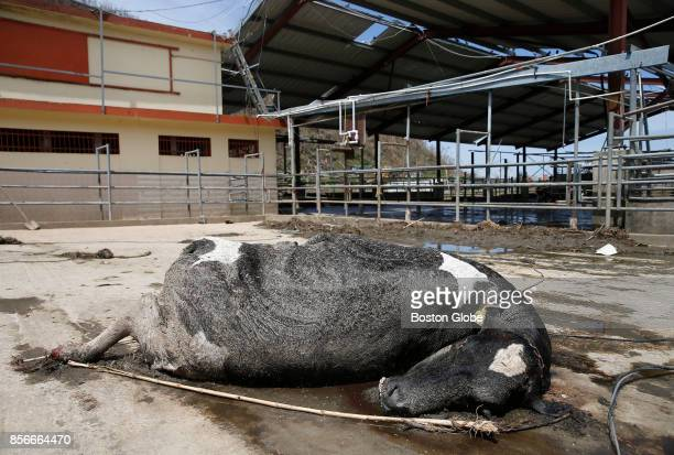 A cow who was killed in Hurricane Maria lies dead on the ground at the Ortiz Rodriguez Dairy Farm in Arecibo Puerto Rico on Oct 01 2017 Puerto Rico...