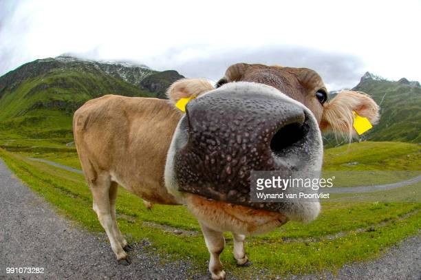Cow with a nose