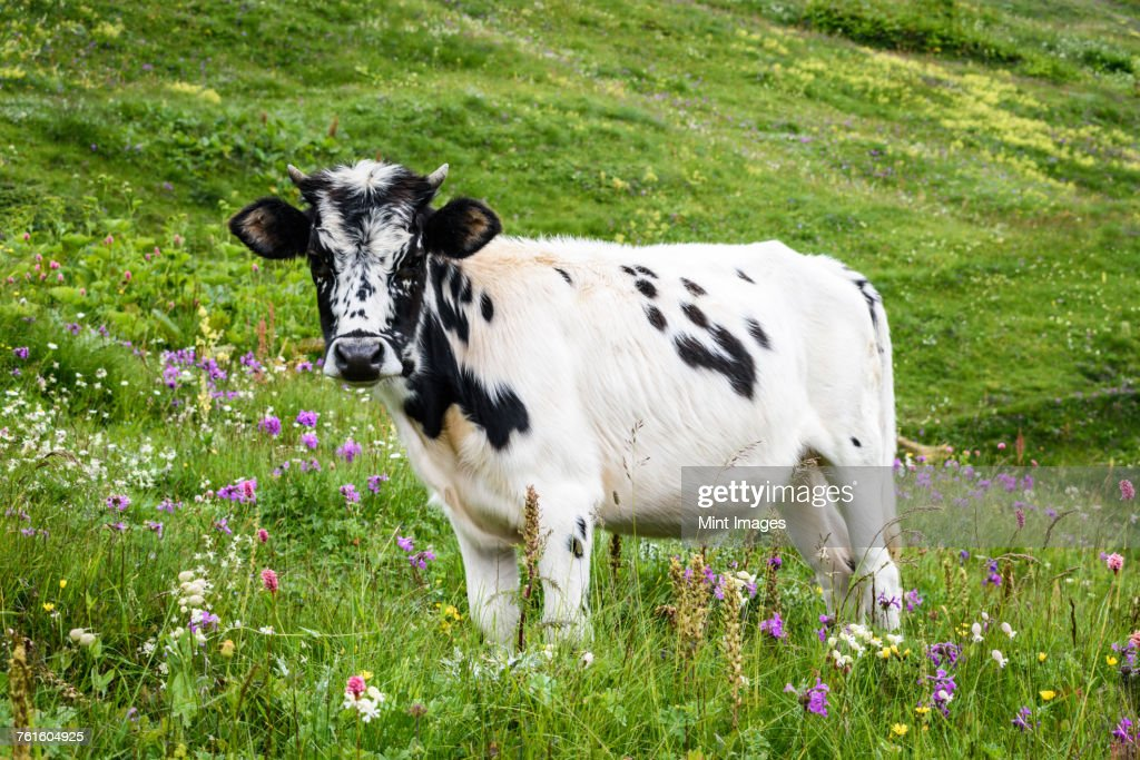 A cow with a white and black spotted hide standing in grassland, meadow pasture with wildflowers, Georgia. : Stock Photo